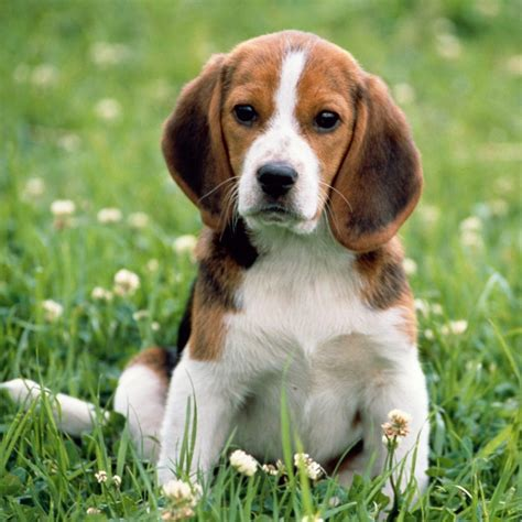 Beagle-Harrier Breed Guide - Learn about the Beagle-Harrier