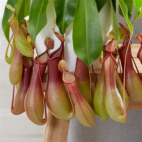 Buy pitcher plant / monkey cups Nepenthes × ventricosa: £