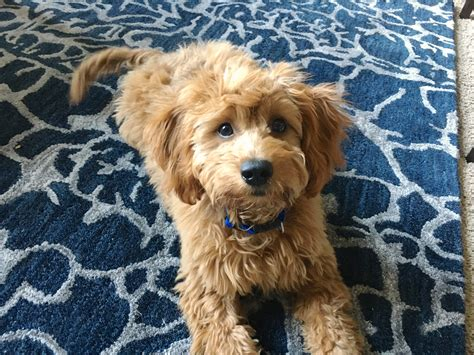 Training a Cute Goldendoodle Puppy to Drop Things on