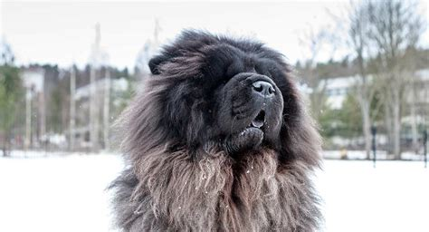 Blue Chow Chow - Fun Facts and Information About An