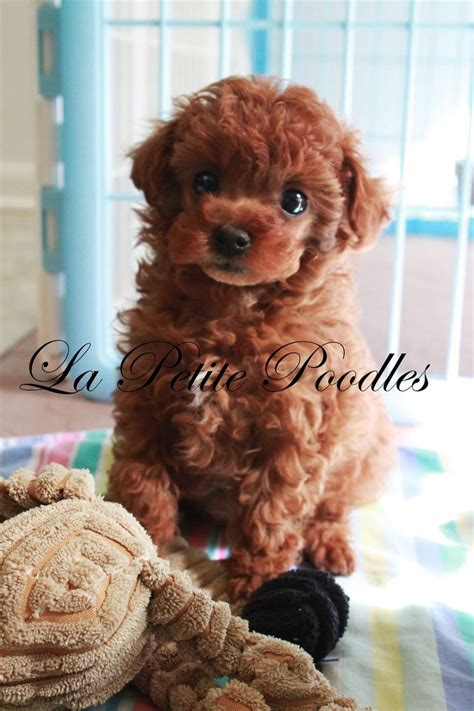 1000+ images about Adorable Poodles on Pinterest | French