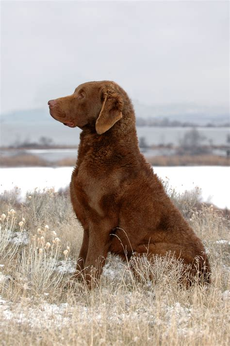 Chesapeake Bay Retriever Lab Mix – All You Need To Know About