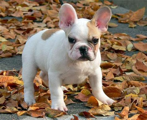 French Bulldog Gallery - Du Champagne French Bulldog Kennel