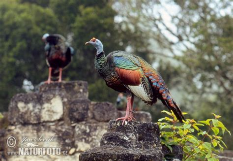 Meleagris ocellata Pictures, Ocellated Turkey Images