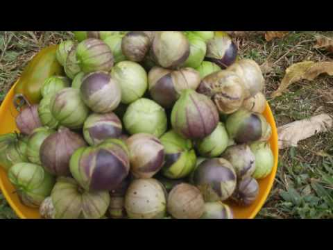How to Grow and Harvest Tomatillos | Gardener's Path