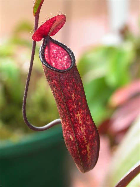 Pitcher Plant | UST Greenhouse project