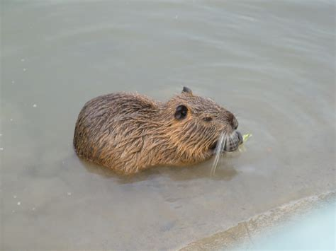 Nutria–what are they, and why? – The Tired Baker