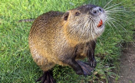 Have a Cajun Thanksgiving with this Crock-Pot Nutria Recipe!