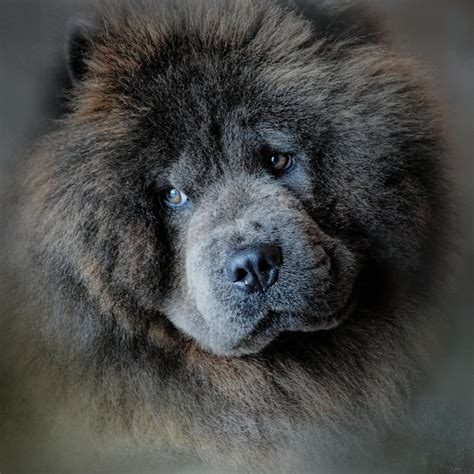 Watching Master - Blue Chow Chow Photograph by Jai Johnson