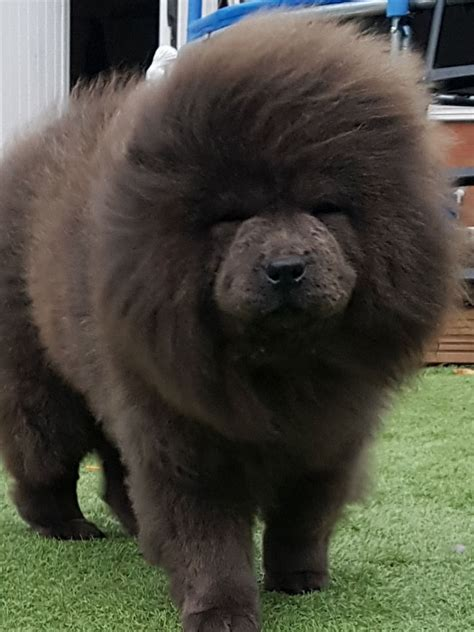 Chow chow blue girl | Willenhall, West Midlands | Pets4Homes