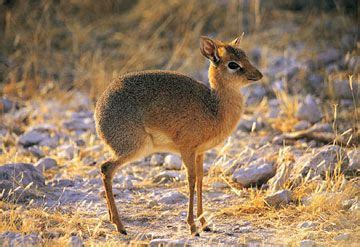 The endangered Philippine mouse deer, smallest hoofed