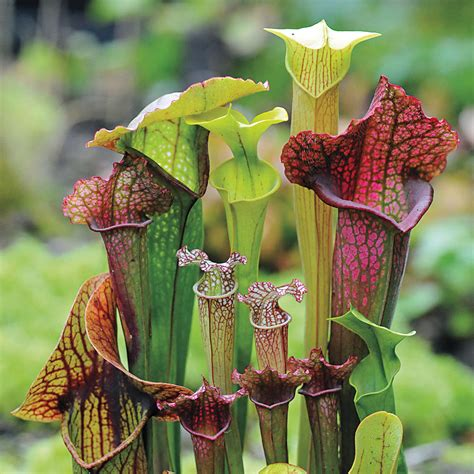 Webbed Goblets and Chalices Pitcher Plant Seeds from Park Seed