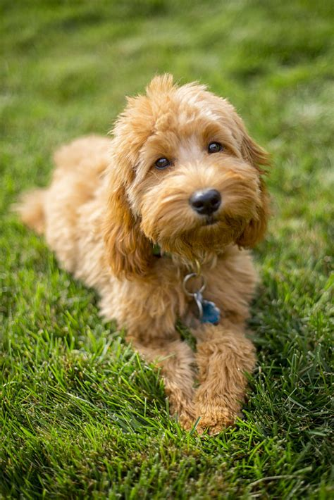 Miniature Goldendoodle: History, Facts, Personality