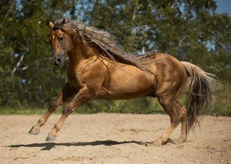 The Inside Scoop On American Quarter Horse | Pets Nurturing