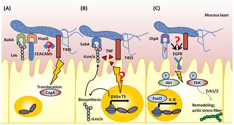Toxins   Free Full-Text   Helicobacter pylori Outer