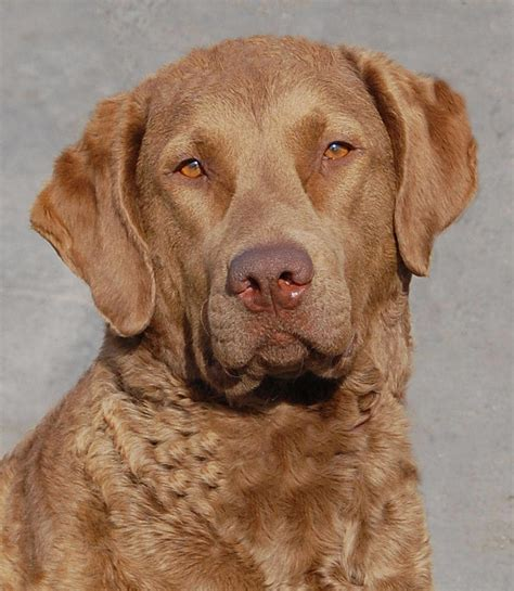 Chesapeake Bay Retriever Breed Guide - Learn about the